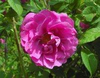 rosa-rugosa-kaiserin-des-nordens-3-06-3
