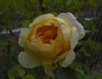 yellow-romantica-kolekcja-w-1