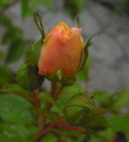 yellow-romantica-kolekcja-w