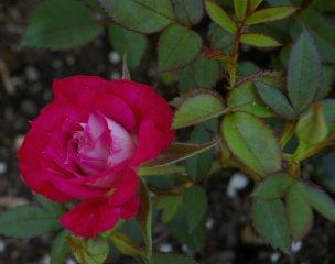 iced-raspberry-2.jpg