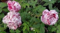 variegata-di-bologna