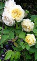yellow-charles-austin2