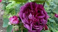 reine-des-violettes