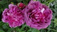 reine-des-violettes2