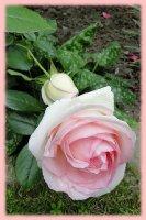 eden-rose-88