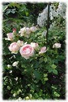 eden-rose5