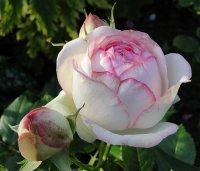 eden-rose6