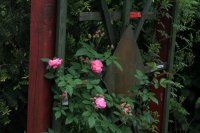 geschwind-nordland-rosa