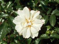 flower-carpet-white