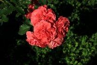rosarium-uetersen2