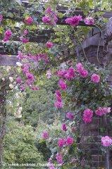 chaplins-pink-climber-kew-garden-london.jpg