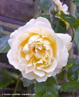easleas-golden-rambler-kew-garden-london.jpg