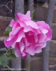 madame-gregoire-staechelin-kew-garden-london.jpg