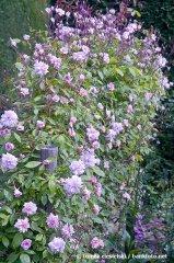 cecile-bruner-lower-flowers-hyde-hall-england-rhs2.jpg