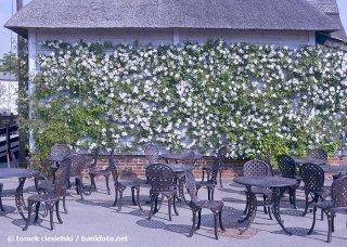 rosa-cooperii-white-flower-flowers-hyde-hall.jpg