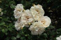 lins-rose