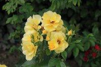 yellow-romantica