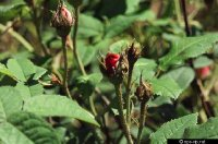 gallica-officinalis-f-harrell.jpg