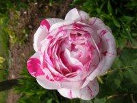 variegata-di-bologna0