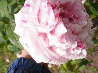 variegata-di-bologna9