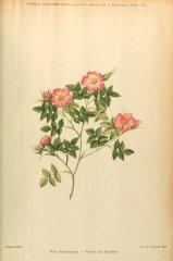 r-dumetorum-rosier-buissons-journaldesroses1911-10