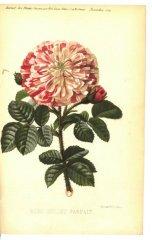 oeillet-parfaite-1879-11