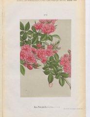 r-platyphylla-1886-8
