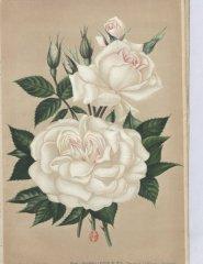 gardenia-1901-11