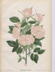 fimbriatta-1896-9