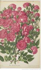 gloire-des-polyantha-1891-4