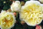 pilgrim-rose.jpg