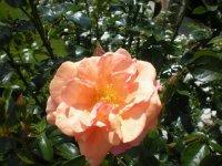 bernstein rose