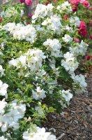 rosa-morden-snow-beauty-cuddy-form