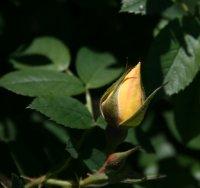 gelbe-dagmar-hastrup