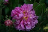 rosa-damascena-koszuty-1