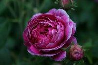 rosa-damascena-koszuty