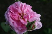 rosa-damscena-koszuty-1