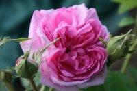 rosa-damscena-koszuty-2