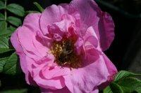 rosa-rugosa-adam-chodun