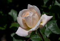 crocus_rose1.jpg
