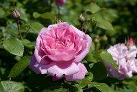 mary_rose.jpg