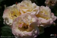 abrikos-queen-elizabeth