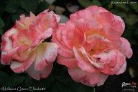 aprikoos-queen-eliyabeth-2