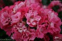 unicef-rose-2