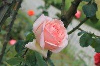 rose-celeste