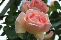 rose-celeste2