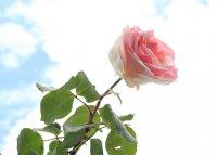 rose-celeste4