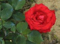 rouge-dorieux