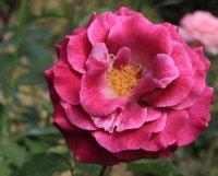 violette-parfumee4