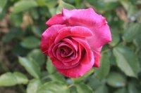 violette-parfumee5